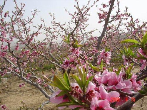 二胡独奏 在那桃花盛开的地方 标清 1